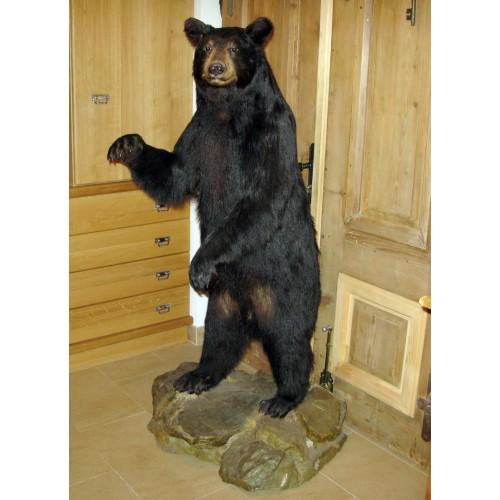 Schwarzbär-Präparat black bear